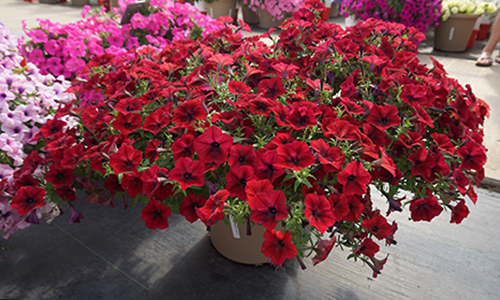 Spreading Petunia Tidal Wave Red Velour