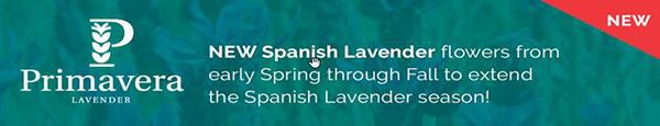 Lavender Primavera from Darwin Perennials