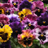 Fizzy Fruit Salad Mixture Pansy