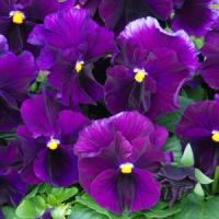 Fizzy Grape Pansy