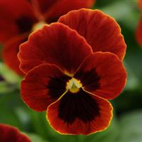 Popsicles Red/Fire Viola
