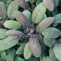 Salvia-sage Purpurascens