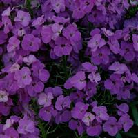 Erysimum Winter™ Joy