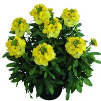 Erysimum Winter™ Light