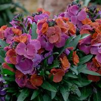 Erysimum Winter™ Orchid