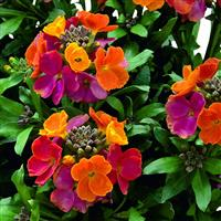 Erysimum Winter™ Party