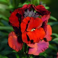 Erysimum Winter™ Passion