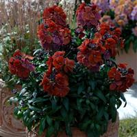 Erysimum Winter™ Rouge