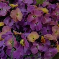 Erysimum Winter™ Sorbet