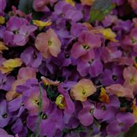 Erysimum Winter™ Sorbet Improved