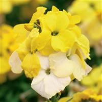 Erysimum Winter™ Sun