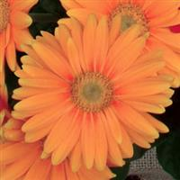 Mini Revolution Orange with Light Eye Gerbera