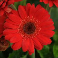 Mini Revolution Red Gerbera
