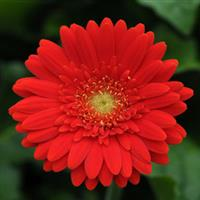 Mini Revolution Red with Light Eye Gerbera