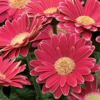 Mini Revolution Rose Gerbera