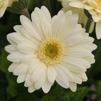 Mini Revolution White Gerbera