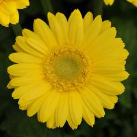 Mini Revolution Yellow Gerbera