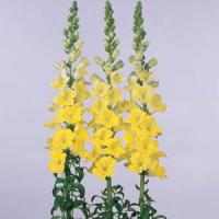 Apollo Yellow Snapdragon