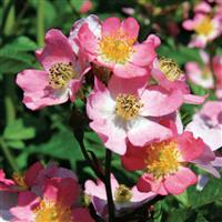 Shrub Rose Look-A-Likes<sup>®</sup> Phloxy Baby