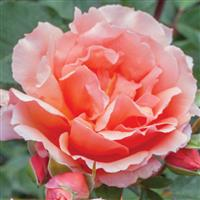 Hybrid Tea Rose Apricot Candy™