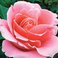 Hybrid Tea Rose Bewitched