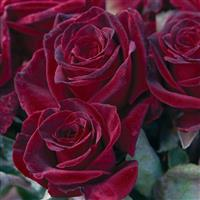 Hybrid Tea Rose Black Baccara<sup>®</sup>