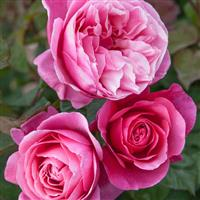 Hybrid Tea Rose Dee-Lish<sup>®</sup>