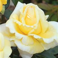 Hybrid Tea Rose Eternal Flame™