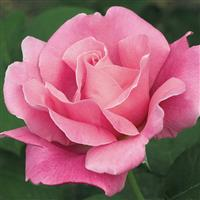 Hybrid Tea Rose Perfume Delight™