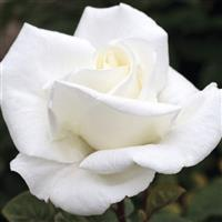 Hybrid Tea Rose Queen Mary 2™