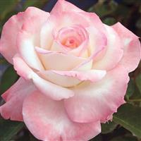 Hybrid Tea Rose Secret™