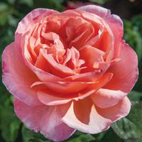 Hybrid Tea Rose Sweet Mademoiselle™