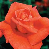 Hybrid Tea Rose Voodoo