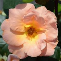 Grandiflora Rose Honey Nectar™