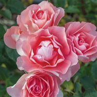 Floribunda Rose Passionate Kisses<sup>®</sup>