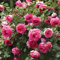 Climbing Rose Pretty In Pink Eden<sup>®</sup>