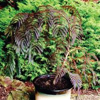 Albizia julibrissin Chocolate Fountain