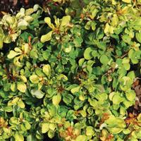 Berberis thunbergii 24K Gold