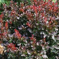 Berberis thunbergii Midnight Ruby