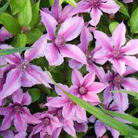 Clematis Double Rose