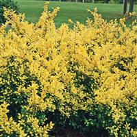 Ilex Crenata Drops Of Gold