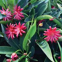 Illicium Star Flower Scorpio