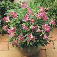 Jazze® Purple Rose Alstroemeria