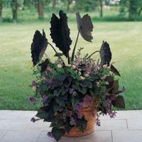 Black Magic Colocasia