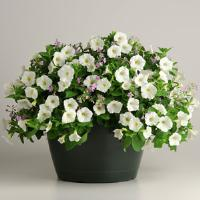Petunia-Bacopa Cloud N Sky Fuseables®