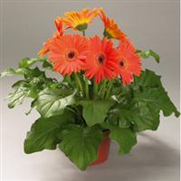 Festival Apricot with Eye Gerbera