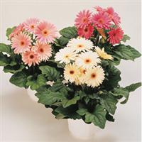 Festival Pink Shades with Eye Gerbera