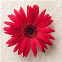 Festival Red with Eye Gerbera