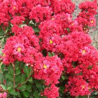 Lagerstroemia Enduring Summer Red