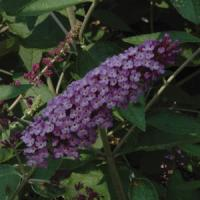 Buddleia Flutterby<sup>®</sup> Lavender